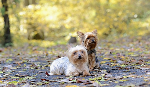 Two teacup Yorkies