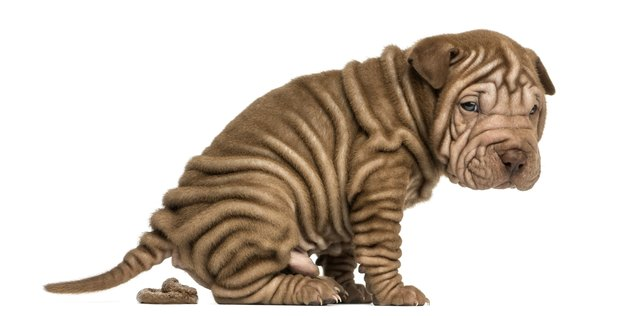 Side view of a Shar Pei puppy defecating