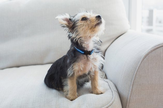 Yorkshire terrier sitting on the couch