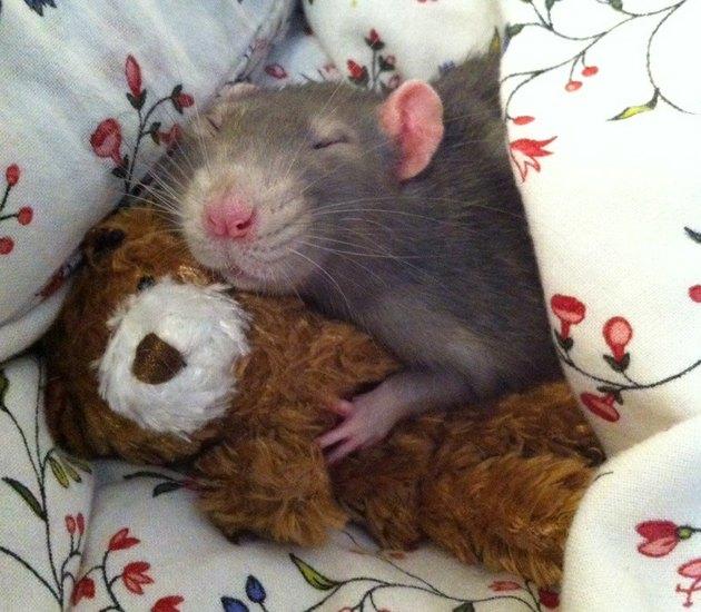 Rat sleeping with teddy bear