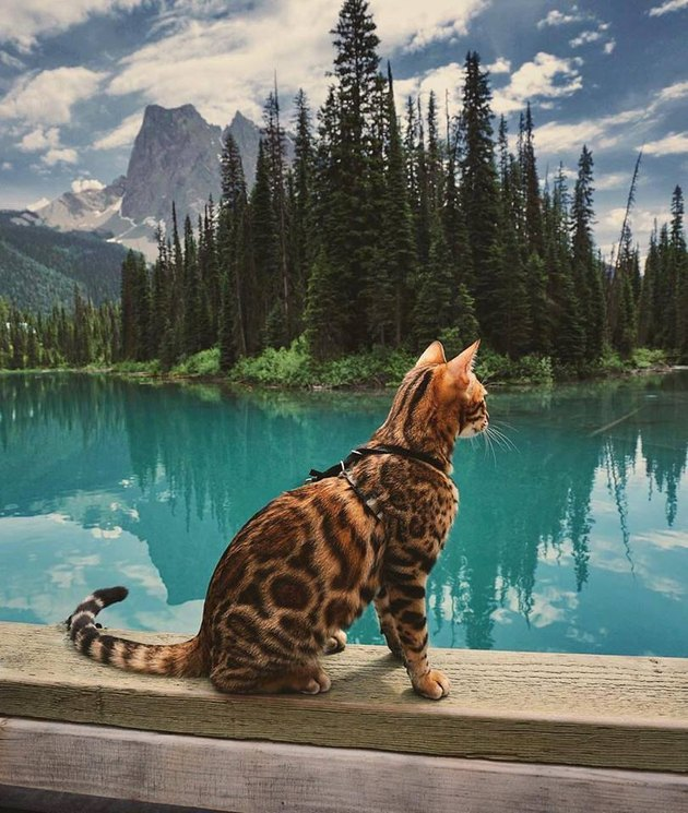 Adventure cat with gorgeous coat gazes at epic mountains