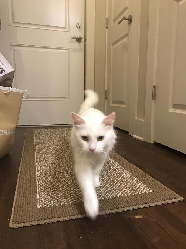 Cat walking down a hallway.