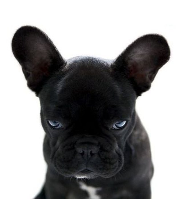 Angry French Bull Dog