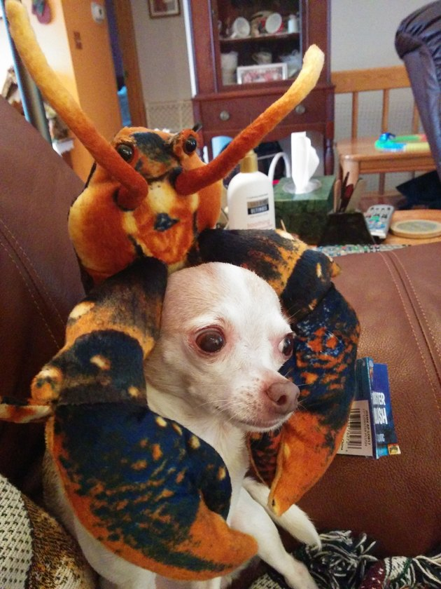 Chihuahua looking concerned while wearing a stuffed toy lobster.