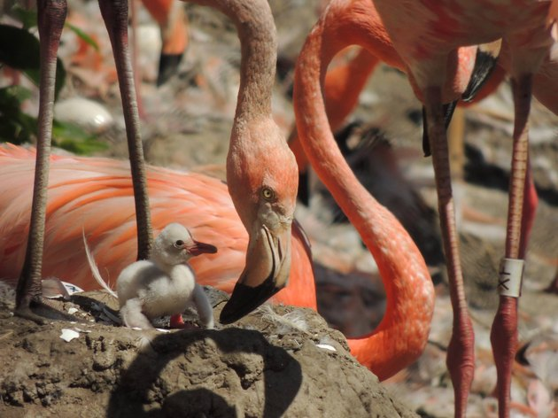 flamingo baby and parent