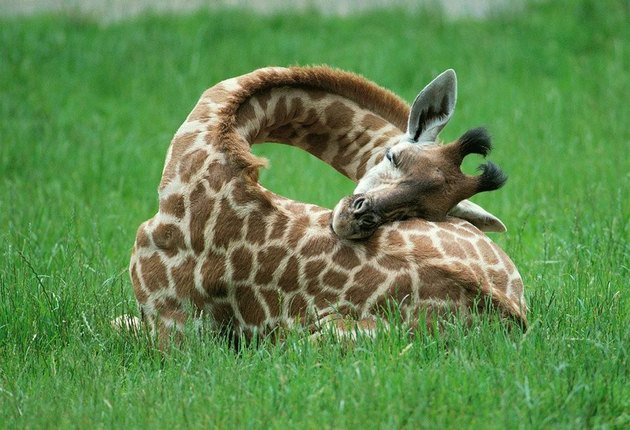 Giraffe sleeping with her head on her back