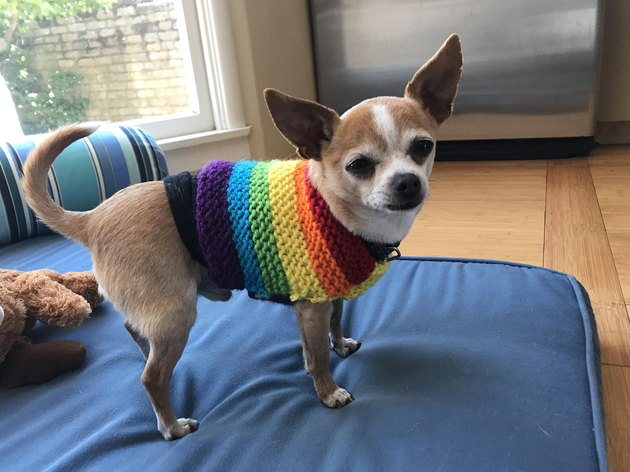 This Chihuahua Wearing A Sweater Reviews The Best Sticks Of 2017