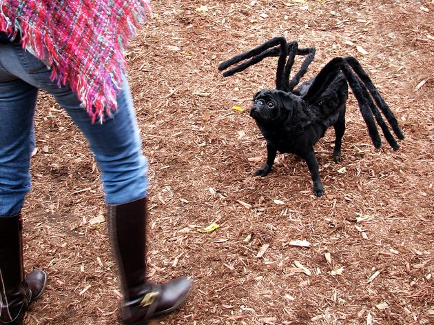 Dog wearing six spider legs