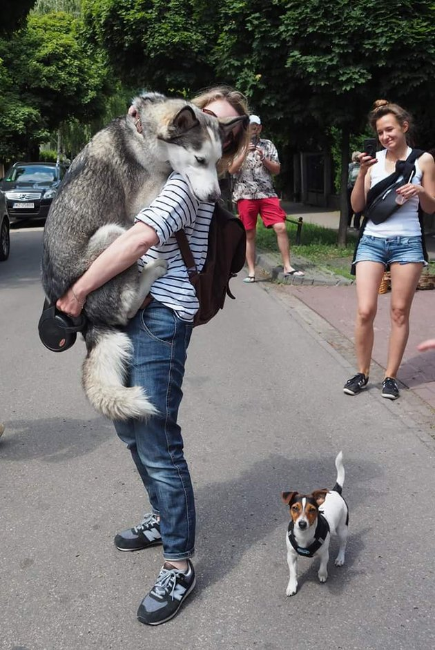 Siberian Husky being held by woman while looking down at small terrier dog.
