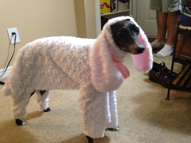 Dog dressed as a sheep.