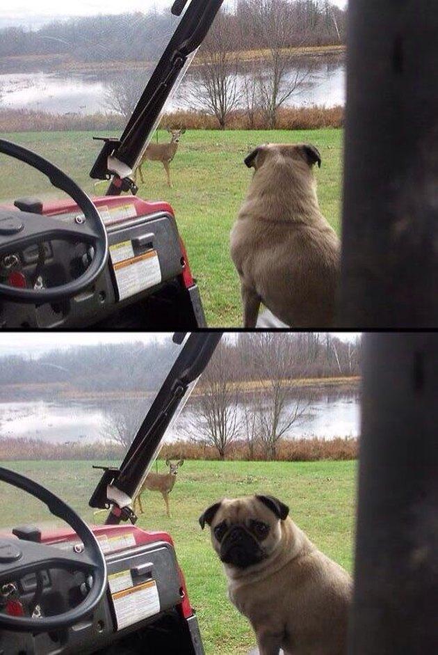 Pug in golf cart looking at deer in distance
