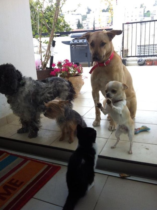 Four dogs looking through a window at a cat.