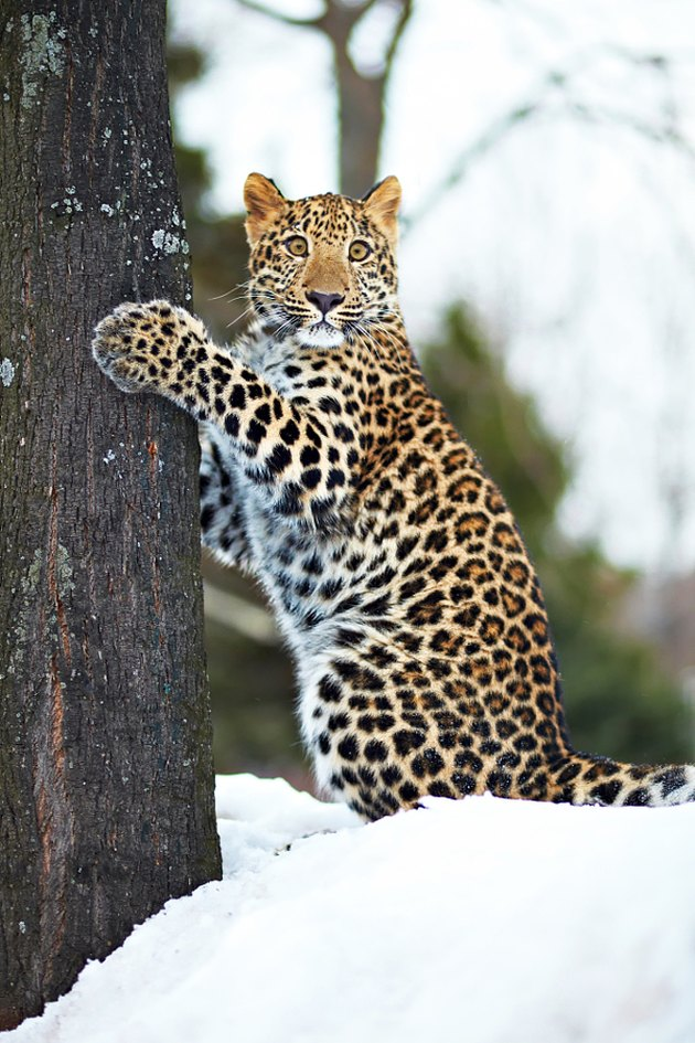 Leopard with its paws on a tree trunk.