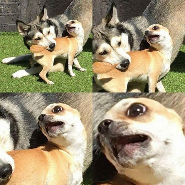 Husky play bites chihuahua's torso.