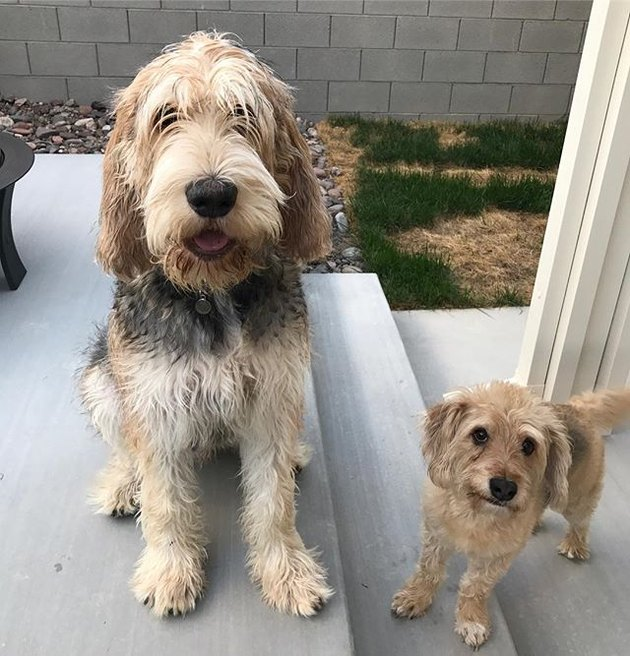 Otterhound with mutt
