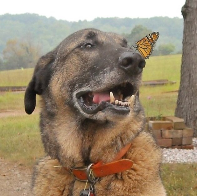 Butterfly perched on nose of smiling dog.