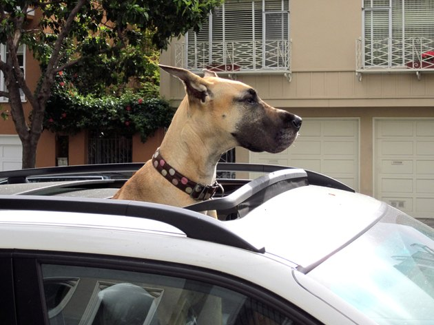 Great Dane with its head out of car sunroof.