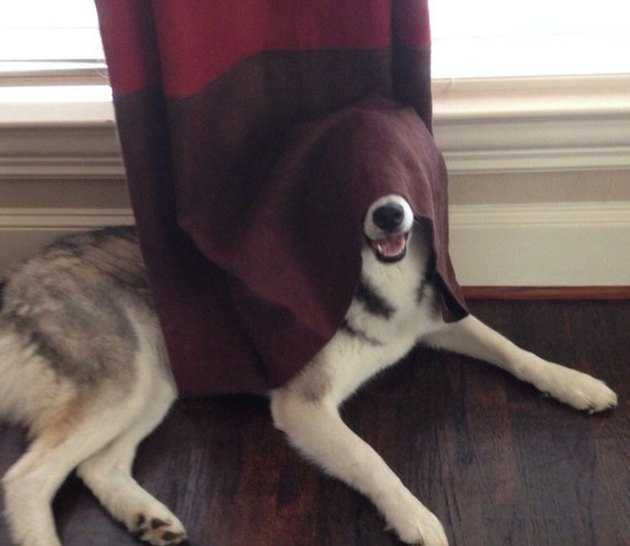 A big white and gray dog has part of its body covered with a curtain.