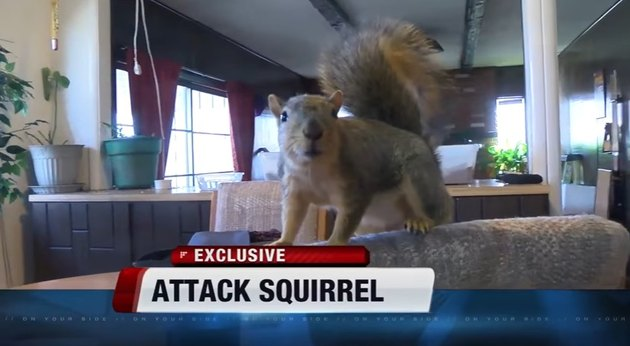 Hero Squirrel Attacks Burglar, Saves the Day