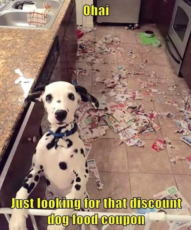 Dalmatian puppy in front of scattered mess of newspapers.