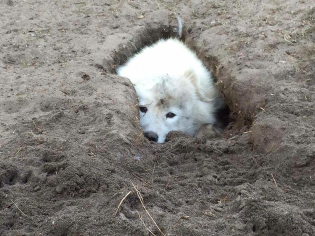 Dog partially hidden in hole.