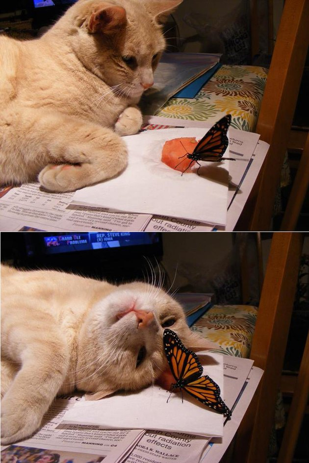 Photo set of cat looking at butterfly and cat lying down next to butterfly.