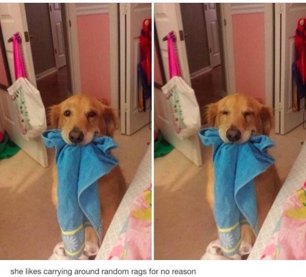 Dog holding towel in her mouth. Caption: she likes carrying around random rags for no reason