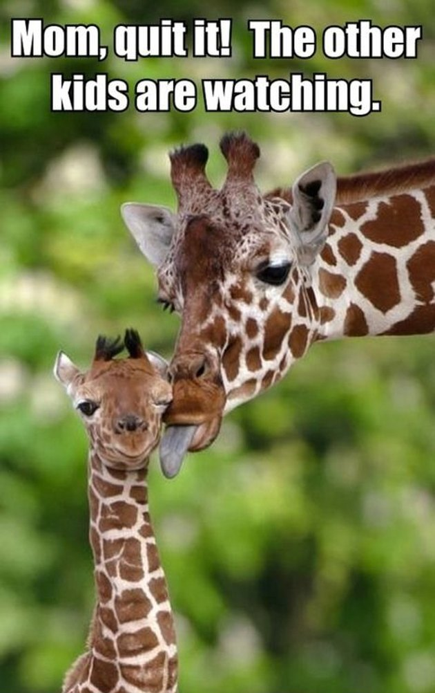 Giraffe licking baby giraffe.