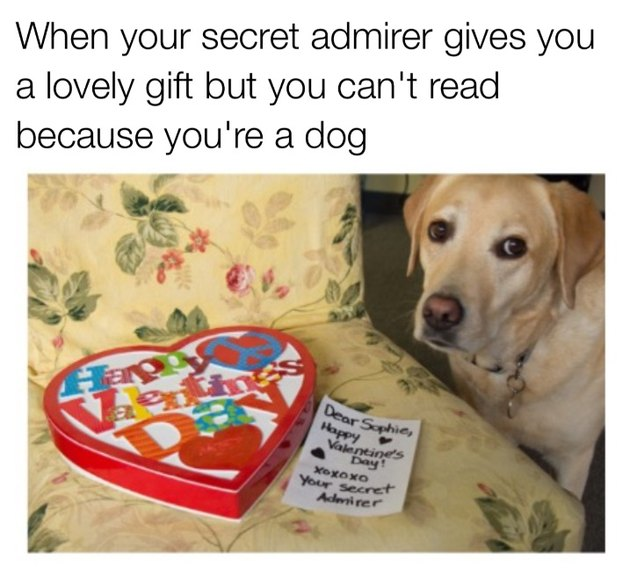 Golden lab next to heart shaped box with a love note. Caption: When your secret admirer gives you a lovely gift but you can't read because you're a dog