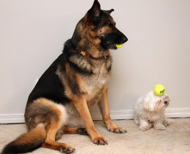 Large German Shepherd holding miniature tennis ball next to small Bolognese with standard tennis ball balanced on its head.