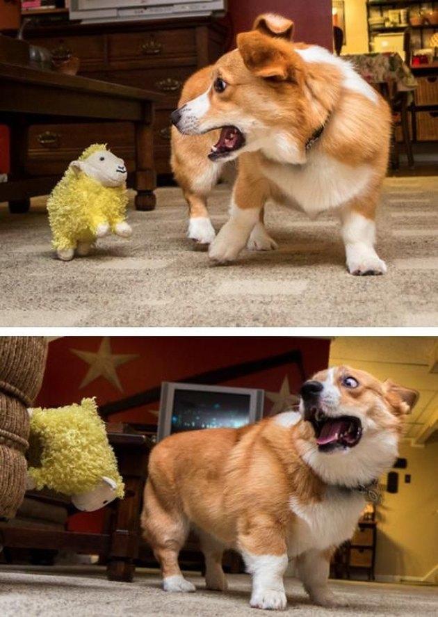 Corgi frightened by stuffed animal