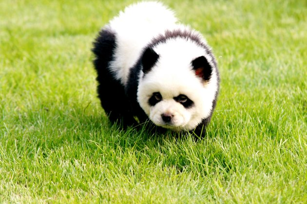 Chow Chow with fur dyed to look like a panda