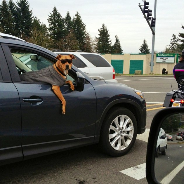 Dog in car wearing sweater and sunglasses