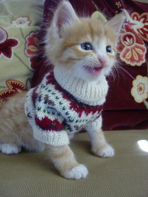 Kitten in winter sweater.