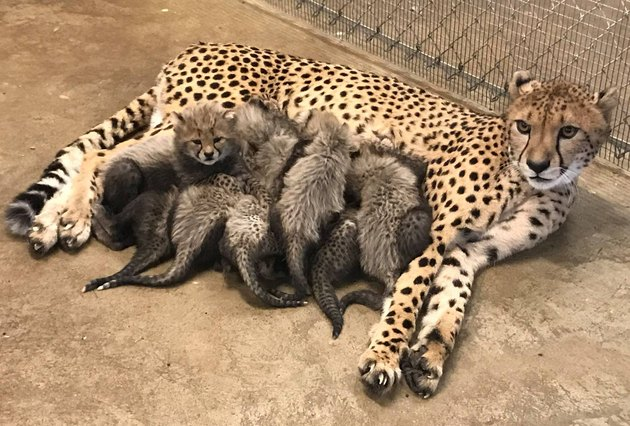 This Cheetah Gave Birth to a Record Number of Cubs and Spoiler—They're All Adorable