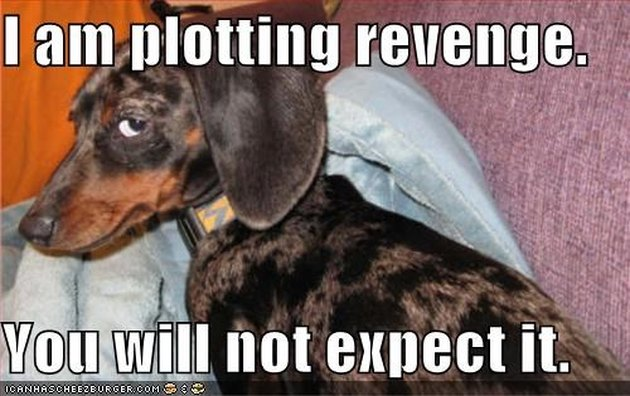"Shady-looking dachshund with caption: ""I am plotting revenge. You will not expect it."""