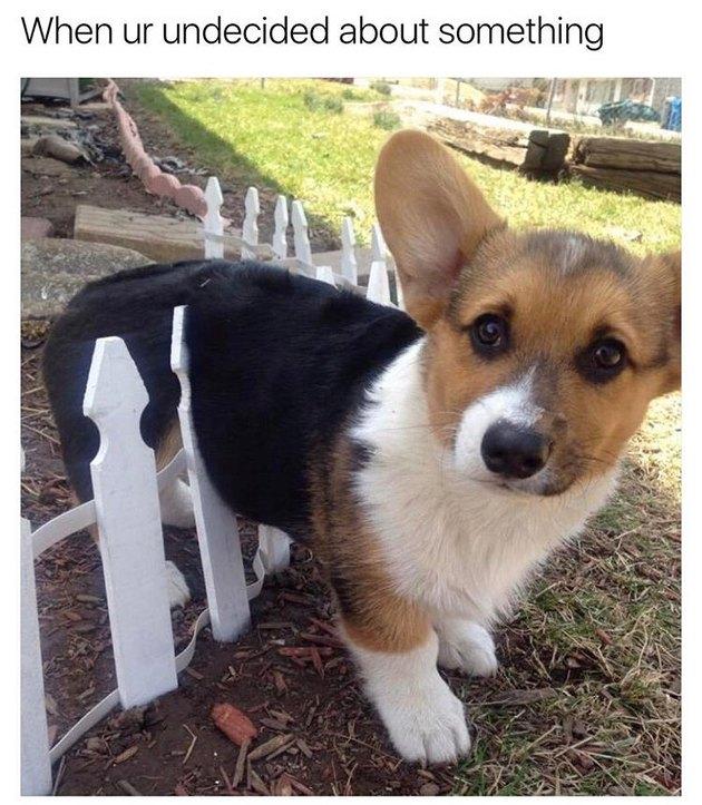 Corgi straddling picket fence. Caption: When ur undecided about something