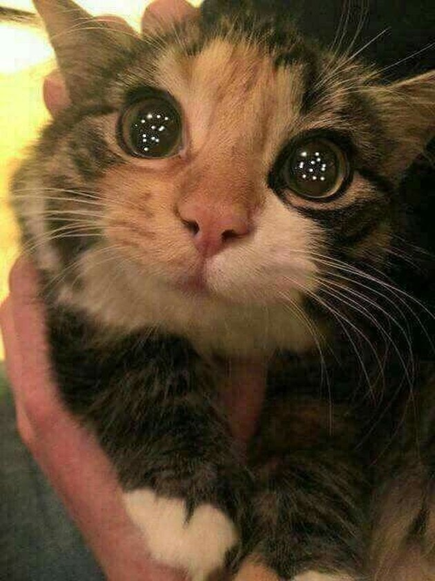 Cat with Christmas lights reflecting in its eyes.