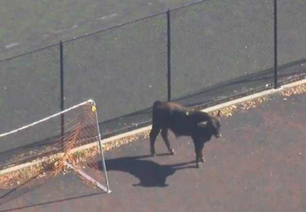 Escape From Moo York: Bull Running Free In Brooklyn Is Finally Corraled