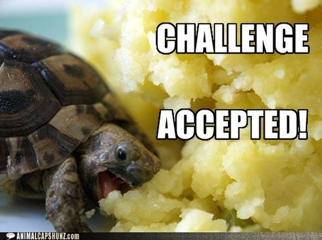 Turtle eats huge pile of mashed potatoes.