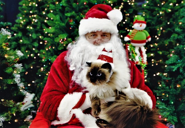 Fluffy Birman cat on Santa's lap.