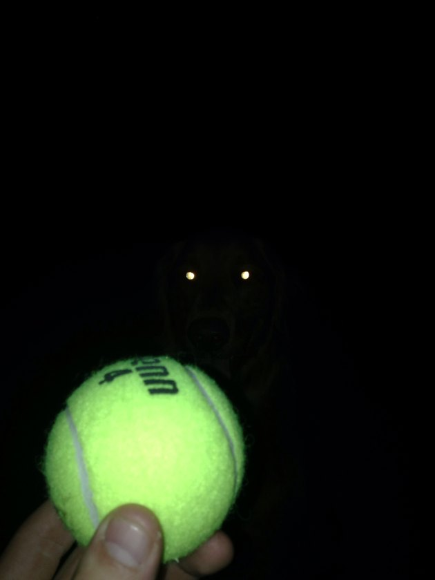 dog eyes in the dark looking at tennis ball