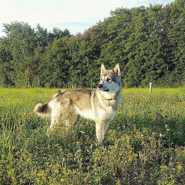 Tamaskan in field