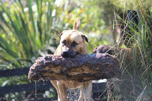 dog carries huge log