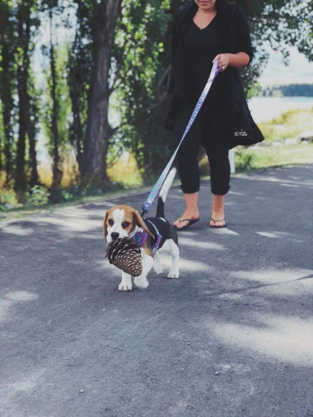 dog carries pinecone in mouth