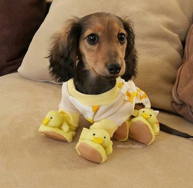 Puppy in pajamas
