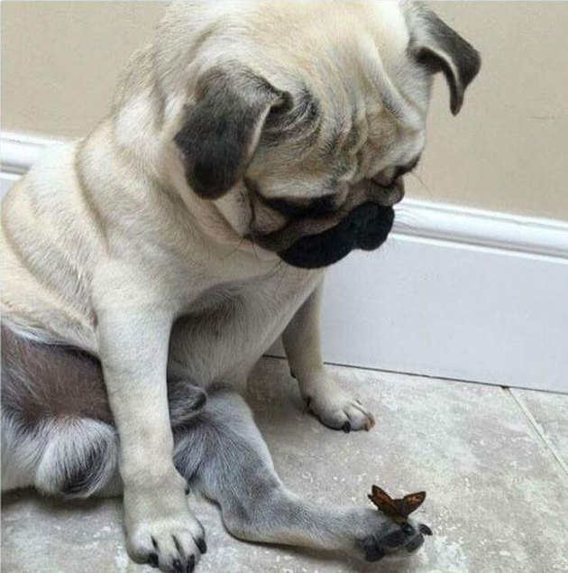 Pug looking at butterfly that landed on his foot.