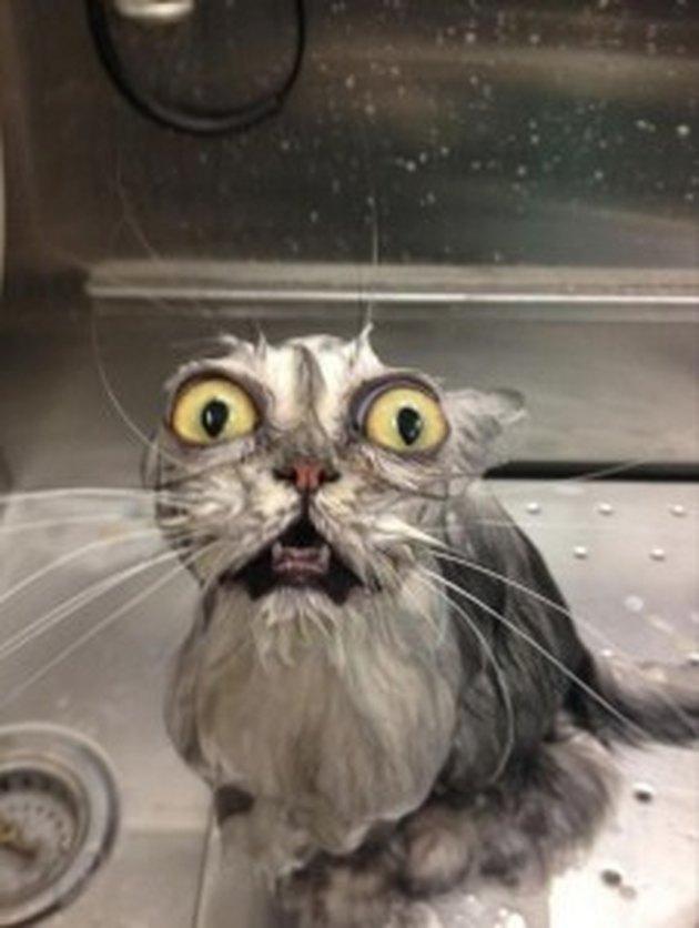 Cat in bath looking horrified