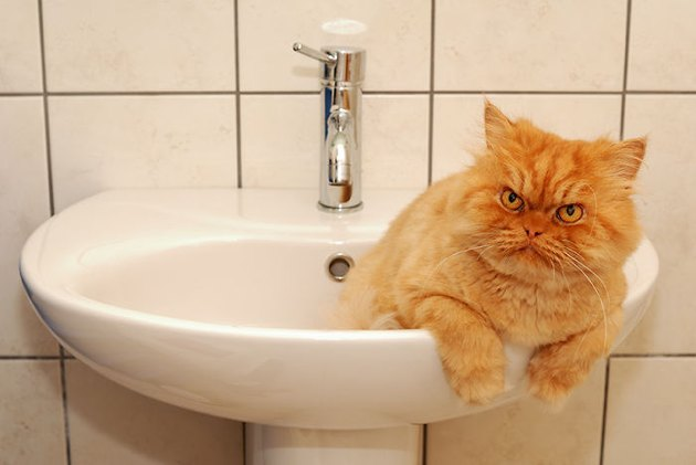 Angry cat in a sink