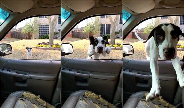 Good boy breaks internet with epic leap through open car window
